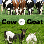 Home Dairy 101: Cow vs. Goat
