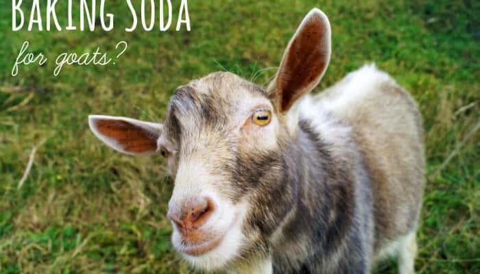 Baking Soda… for Goats?