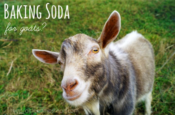Baking Soda    for Goats? • The Prairie Homestead
