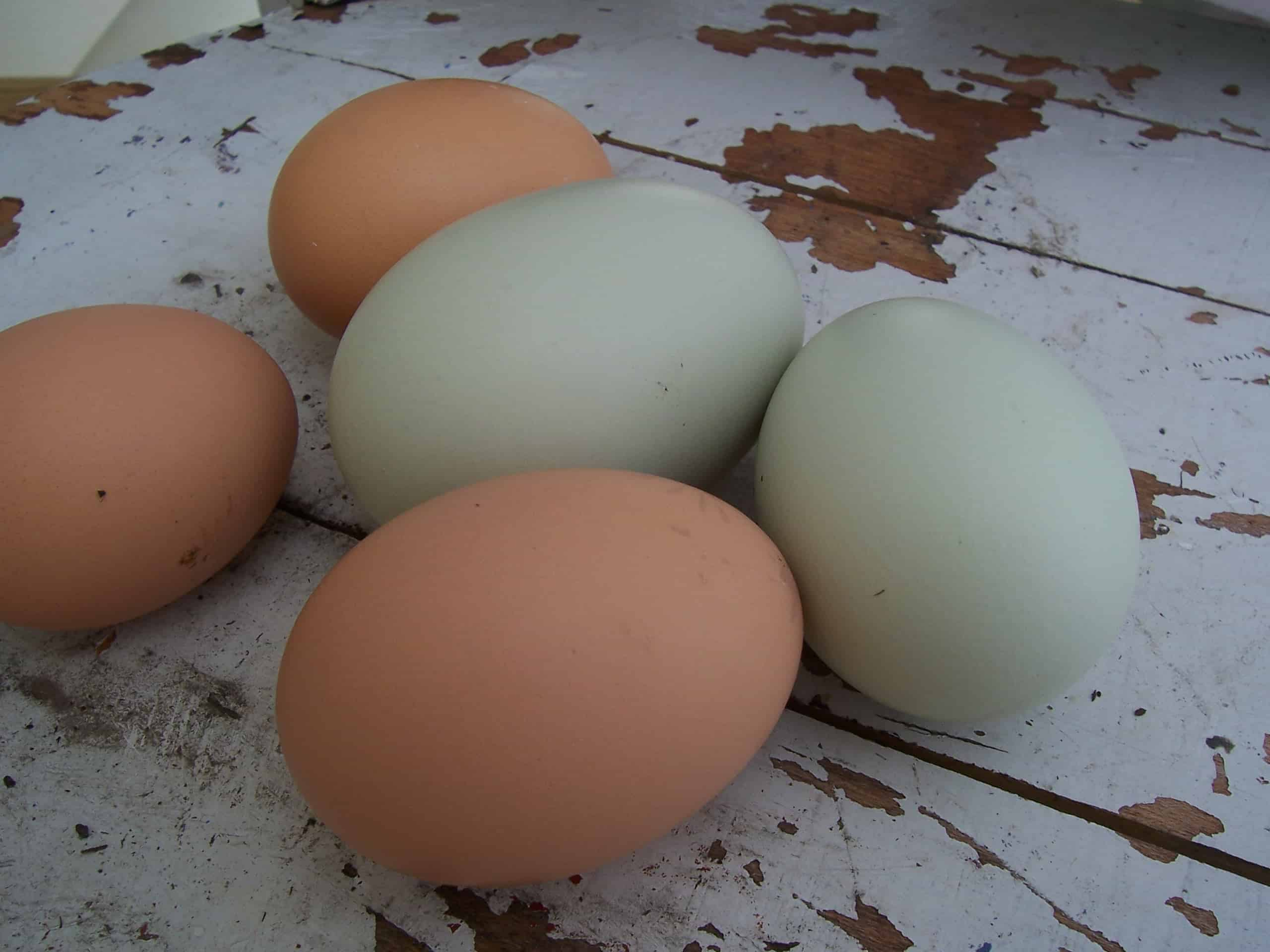 How to Feed Eggshells to Chickens • The Prairie Homestead