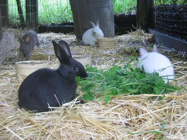 Homestead Rabbits