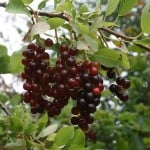 How to Make Chokecherry Jelly (low-sugar and honey variations)
