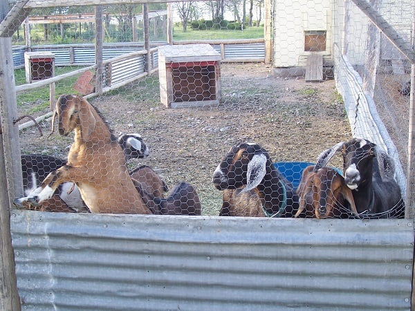 The Truth About Goats Or Why We Downsized Our Herd The