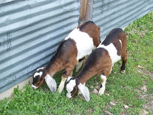 The Truth about Goats (or Why We Downsized our Herd) • The