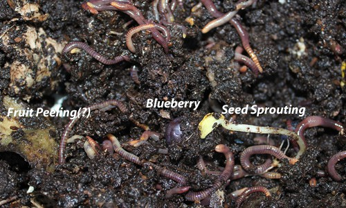 Feeding Compost Worms: What, When, & How {Guest Post}