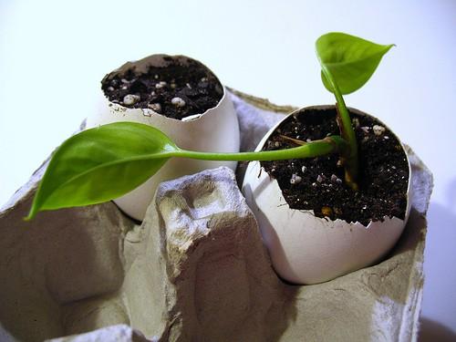 starting seeds in eggshells