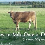 Once a Day Milking for your Cow or Goat