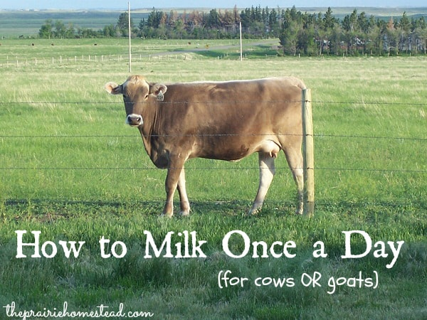 how to milk once a day