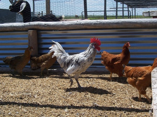 What Not To Feed Chickens The Prairie Homestead
