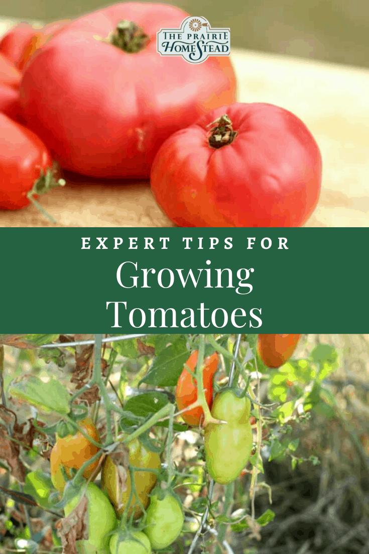 Expert Tips for Growing Tomatoes
