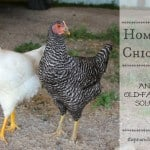 Homeless Chickens: An Old-Fashioned Solution
