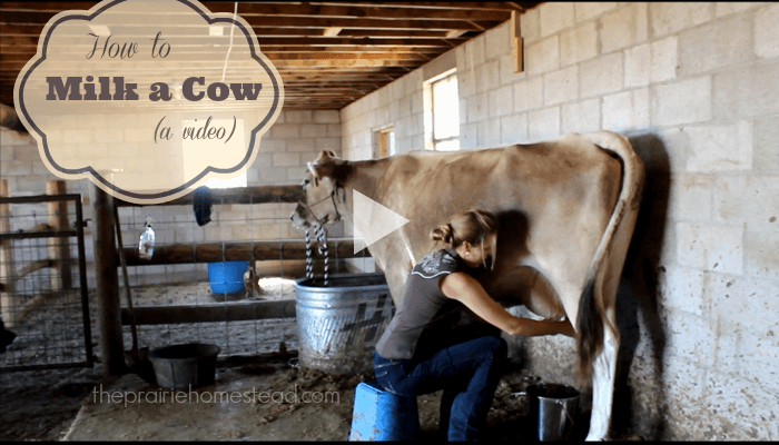 How to Milk a Cow