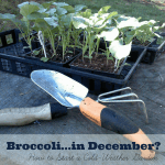 Broccoli in December? How to Get Started with a Fall Garden