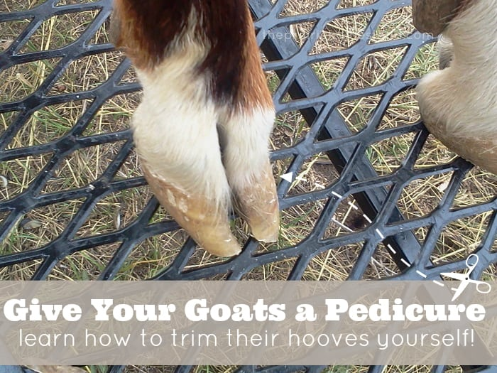 trim goat hooves