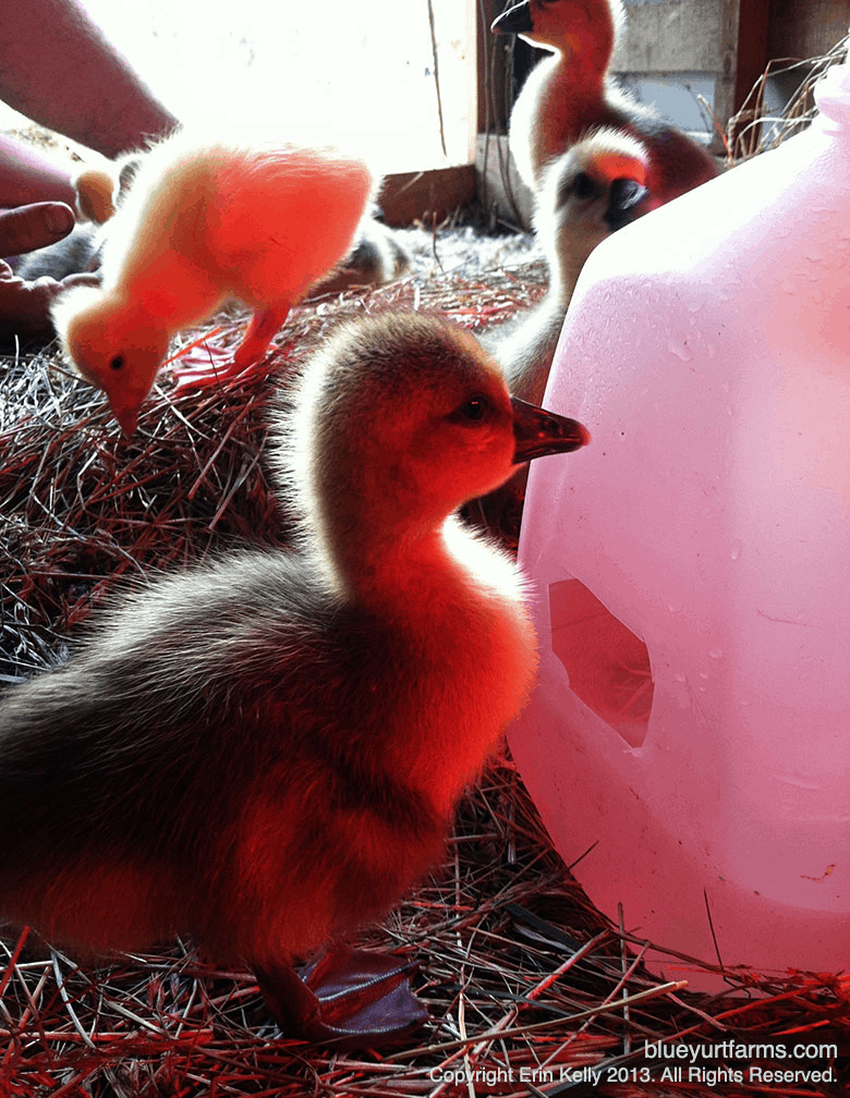homemade duck or goose waterer