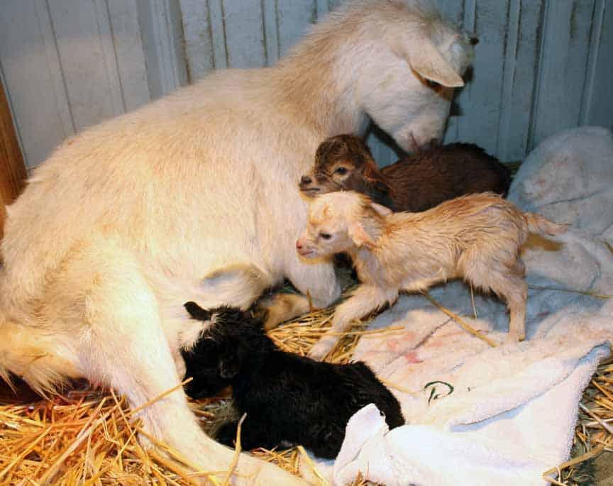 dam raising goat kids