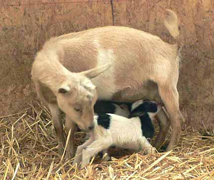 How to Milk a Goat *VIDEO*