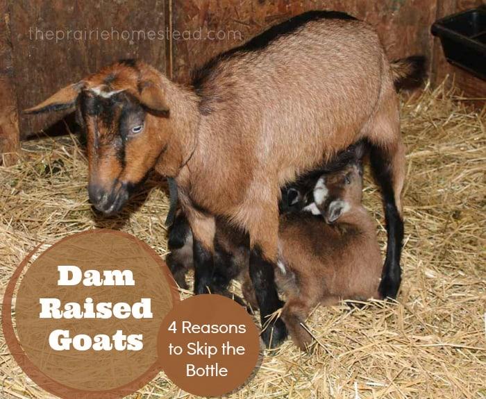 dam raising goats