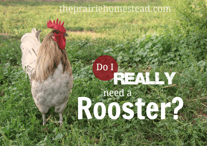 do I need a rooster