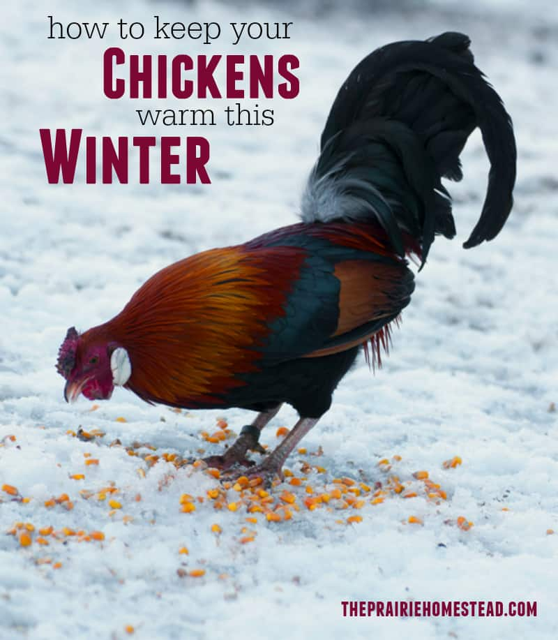 How to Keep Chickens Warm This Winter
