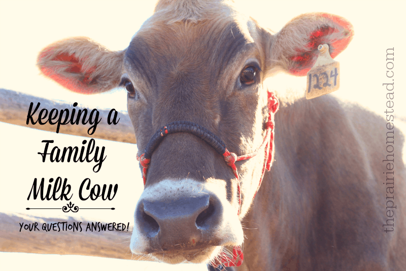 Owning A Family Milk Cow Your Questions Answered