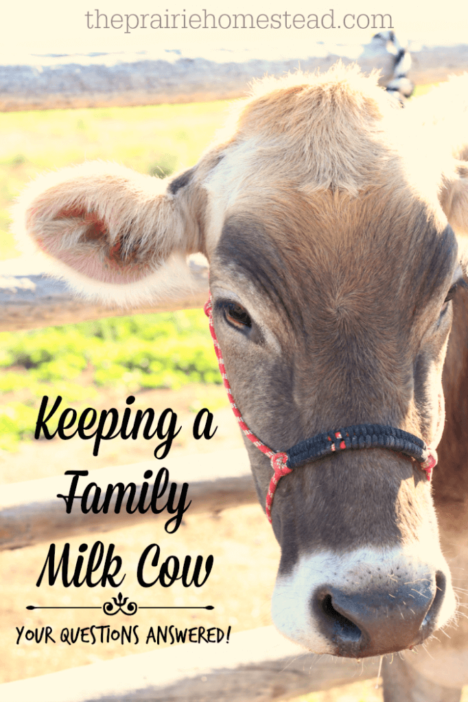 family dairy cow