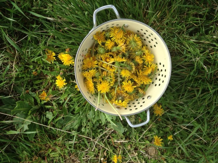 dandelion recipes