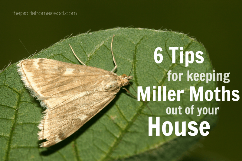 6 Ways To Keep Miller Moths Out Of Your House The Prairie