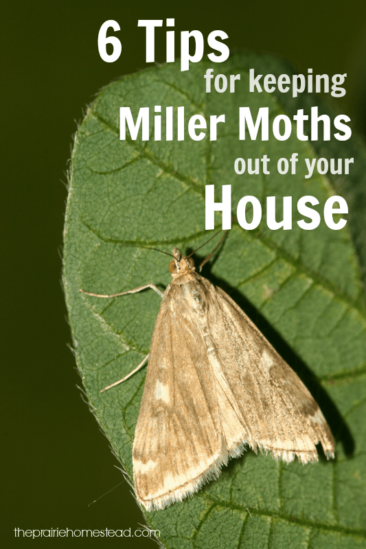 6 Ways To Keep Miller Moths Out Of Your House The