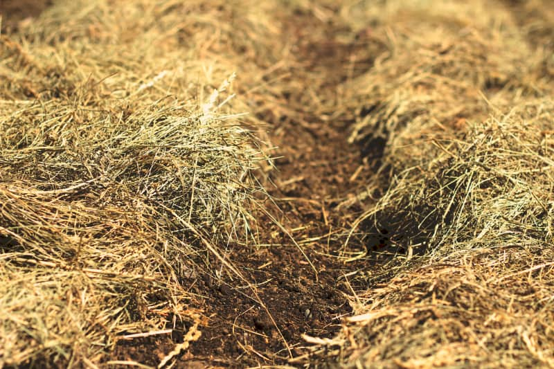 deep mulching with hay in rows