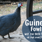 All About Guinea Fowl {And why you need them on your homestead!}