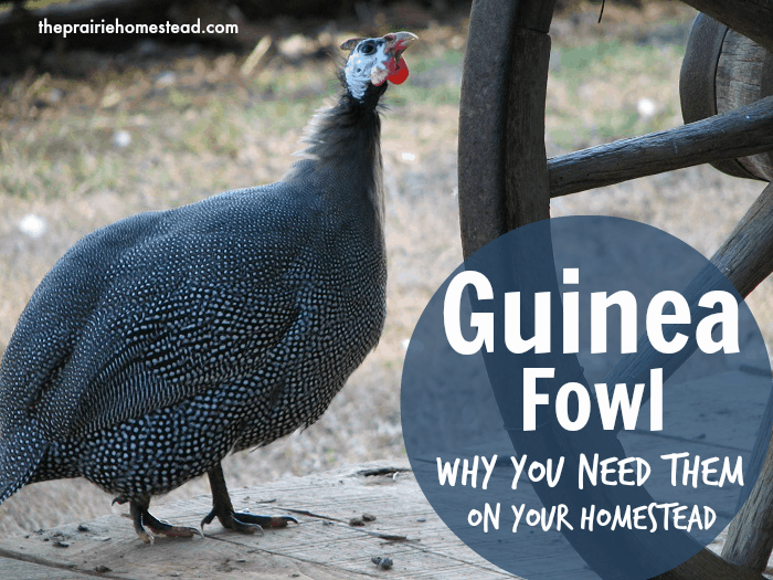 All About Guinea Fowl {And why you need them on your