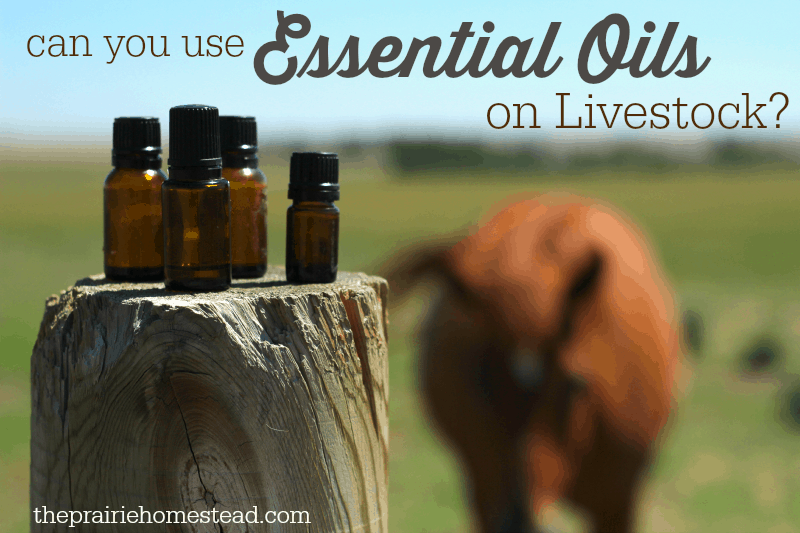 essential oils livestock