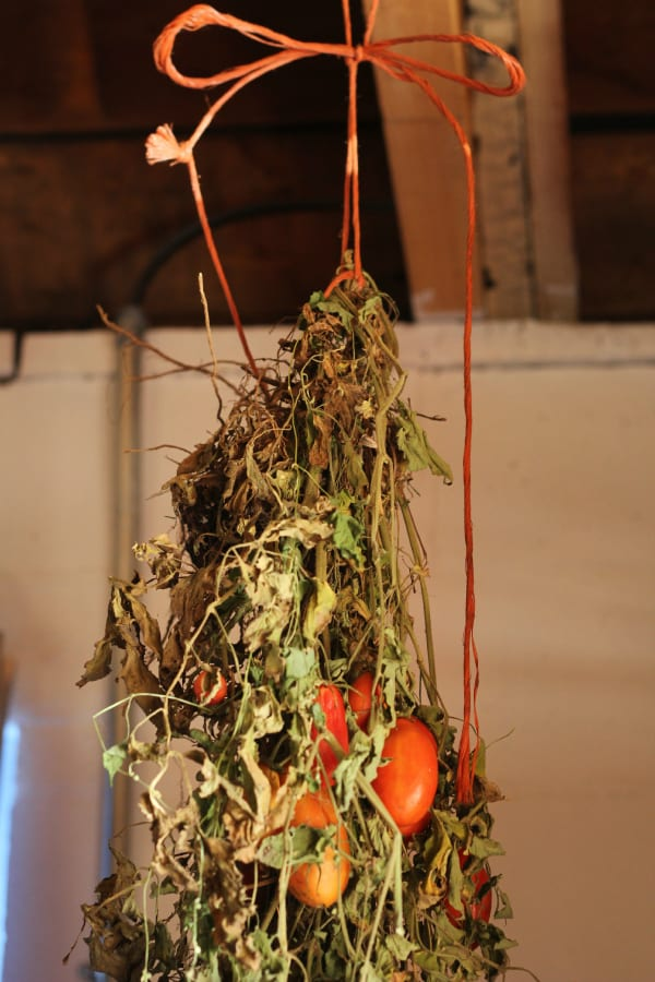 hanging green tomatoes