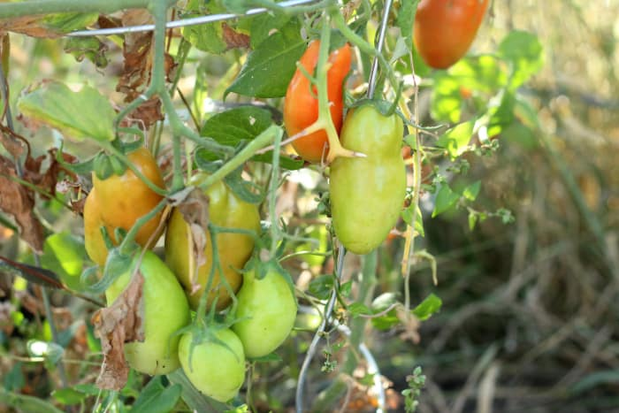 How To Save Green Tomatoes