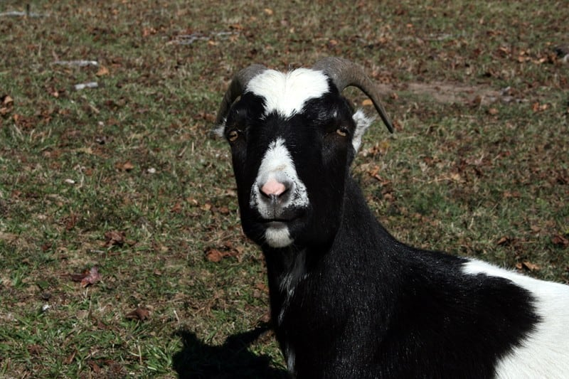 5 Reasons Not to Get Goats | The Prairie Homestead