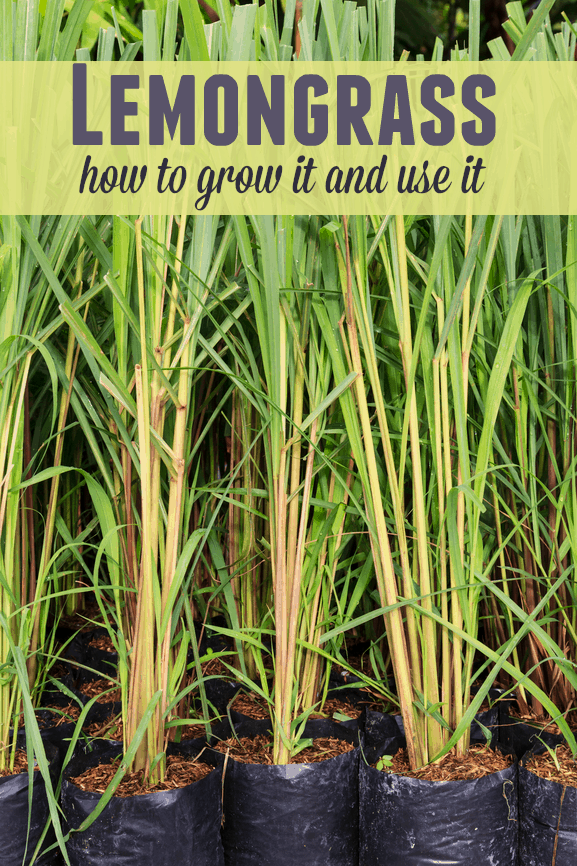 Lemongrass: How to Grow it and Use it