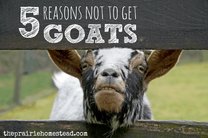 5 reasons not to get goats: some of the hazards of goat ownership...