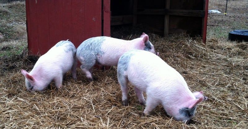 Homestead pigs