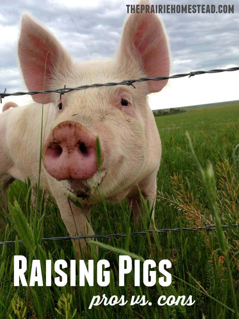 raising pigs - pros and cons