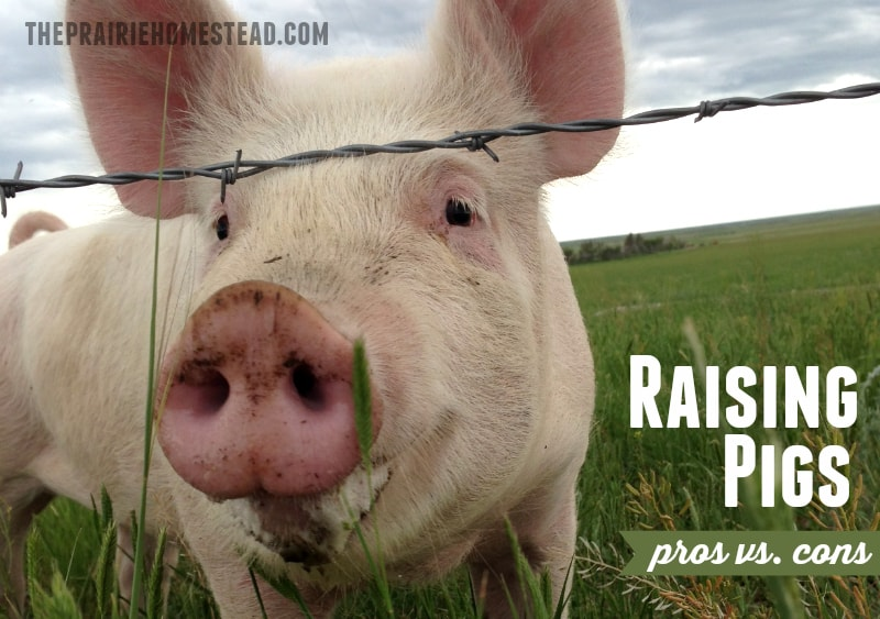 Raising pigs pros cons the prairie homestead Wyoming craigslist farm and garden