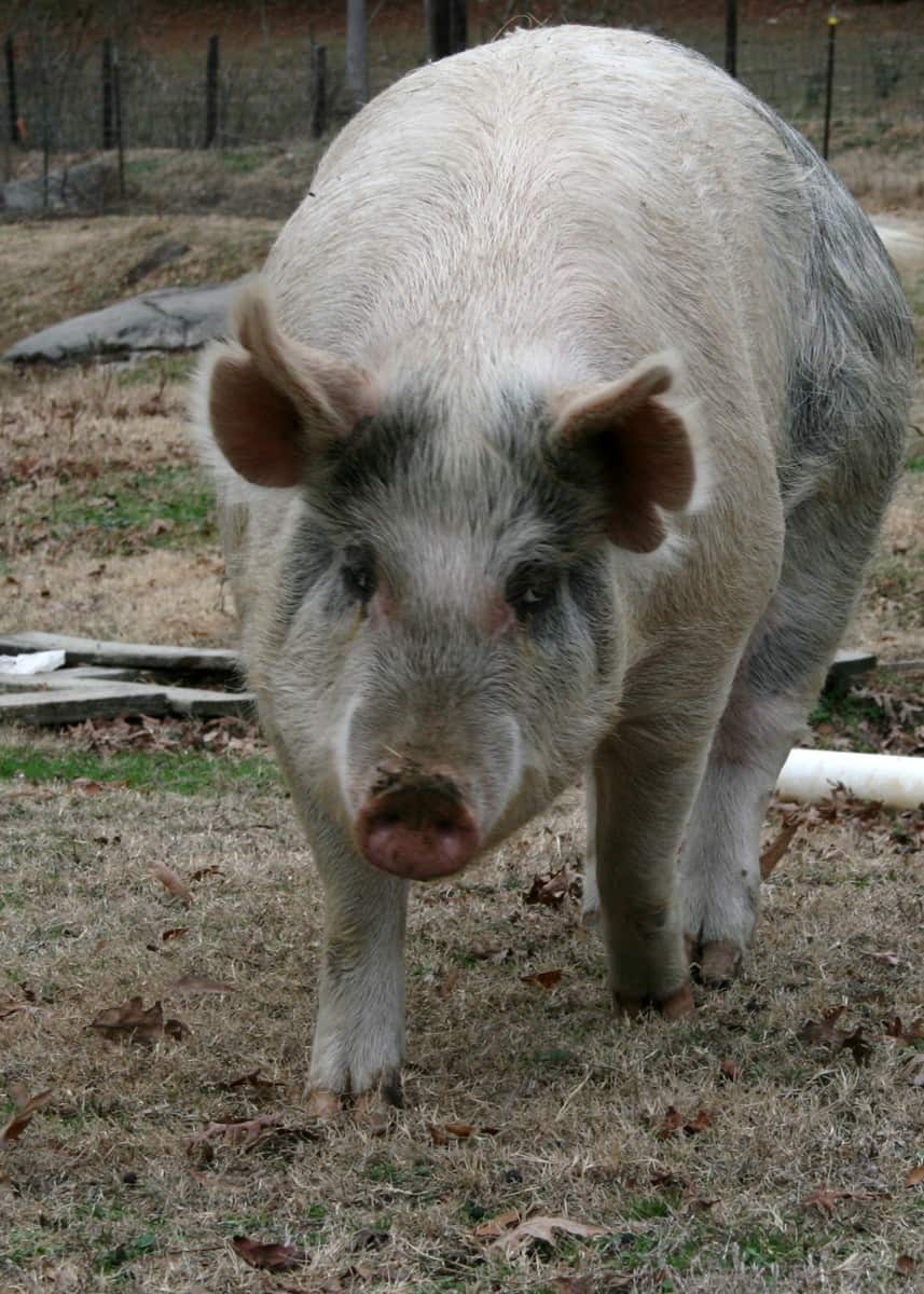 vertical pig pic