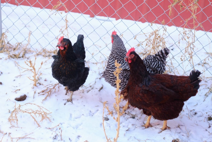 chickens-in-snow