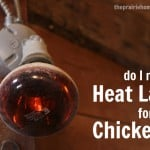 Do My Chickens Need a Heat Lamp?