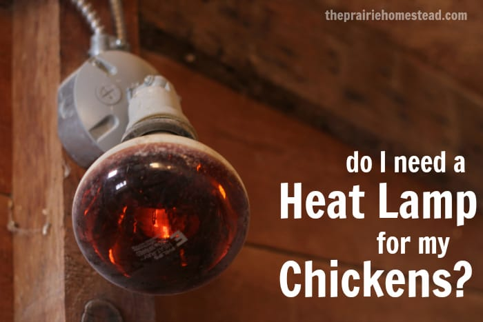 do my chickens need a heat lamp the prairie homestead. Black Bedroom Furniture Sets. Home Design Ideas