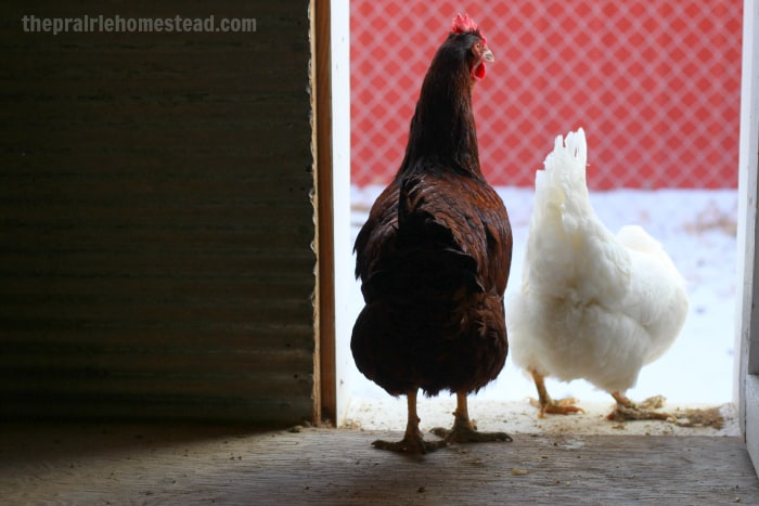 are heat lamps safe for chickens?