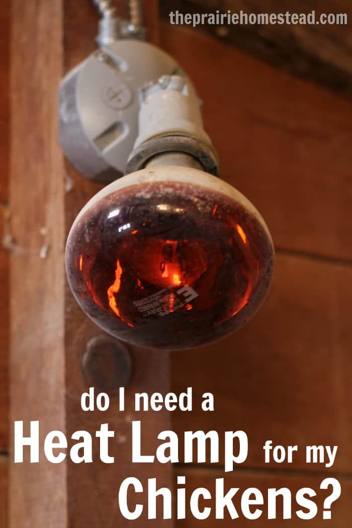 Are Salt Lamps Safe For Birds : Do My Chickens Need a Heat Lamp? The Prairie Homestead