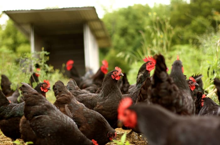 using chickens to fertilize