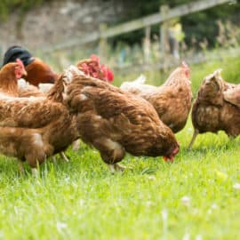 using chickens as insect control in the garden