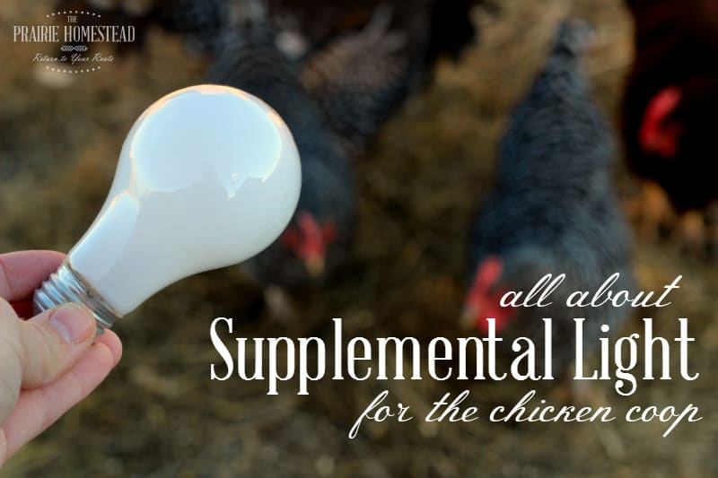 how to use supplemental lighting in the chicken coop during the winter